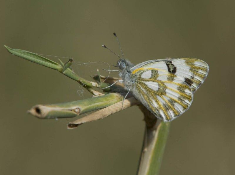 2. Pontia glauconome (Klug, 1829) - Desert White