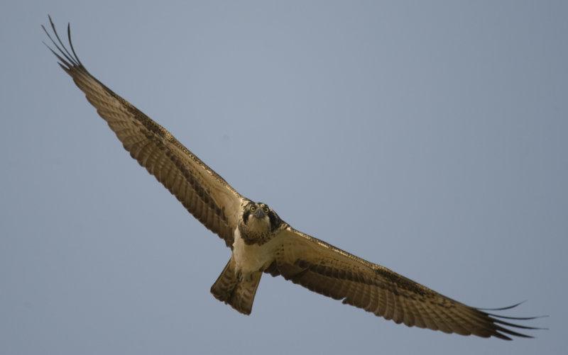 1. Osprey - Pandion haliaetus