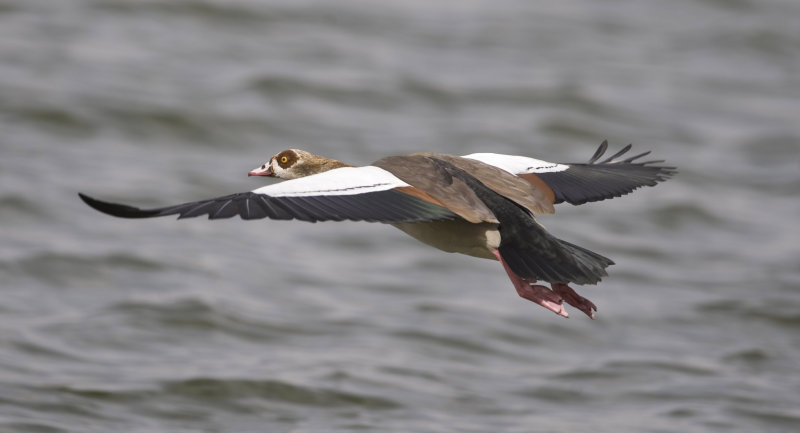 4. Egyptian Goose - Alopochen aegyptiacus (introduced but established)