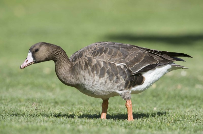 1. Greater White-fronted Goose - Anser albifrons