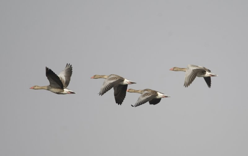 3. Greylag Goose - Anser anser