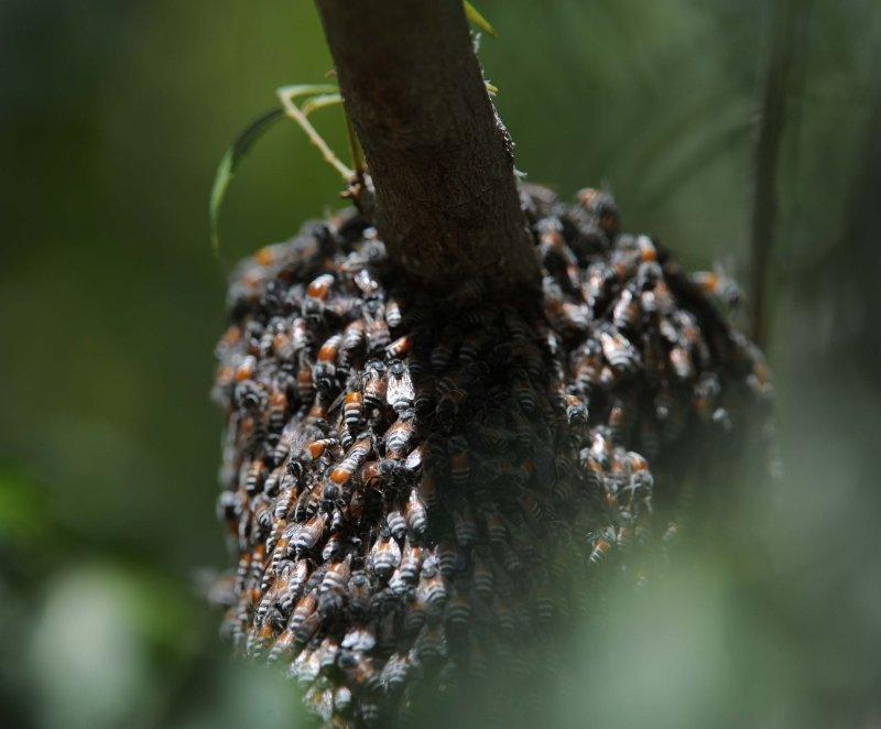 1. Apis (Micrapis) florae (Fabricius, 1787) - Asian Dwarf Bee