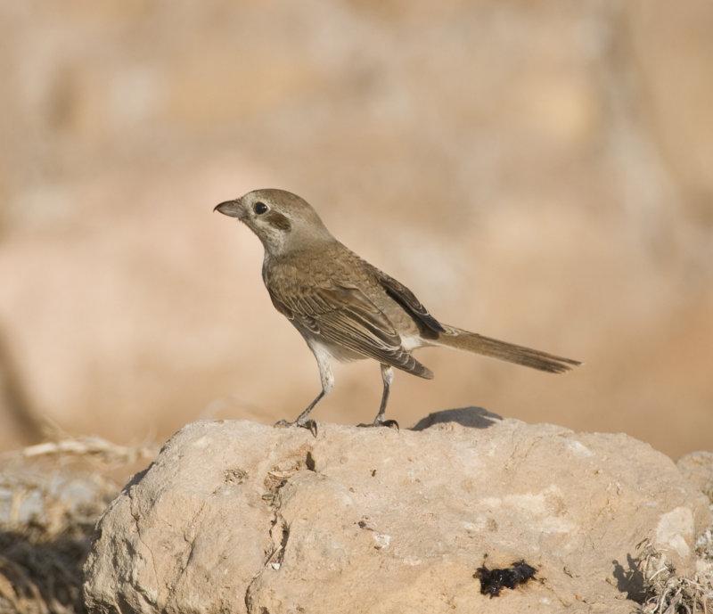 1. Red-backed Shrike - Lanius collurio