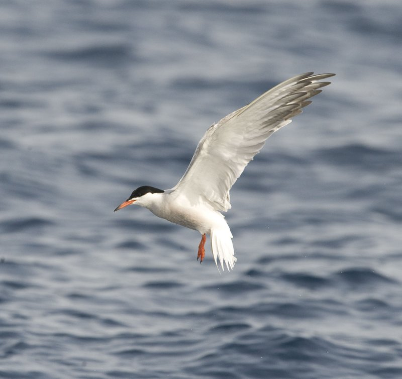 19. Common Tern - Sterna hirundo