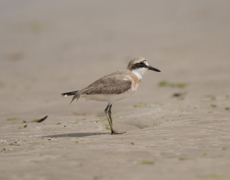 13. Greater Sand Plover - Charadrius leschenaultii