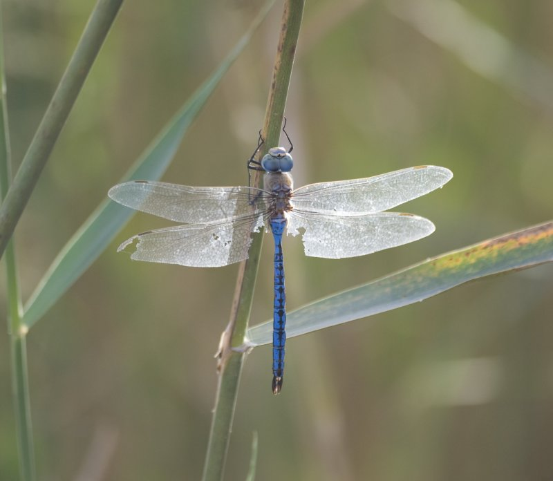 3. Anax imperator (Leach, 18185) - Blue Emperor