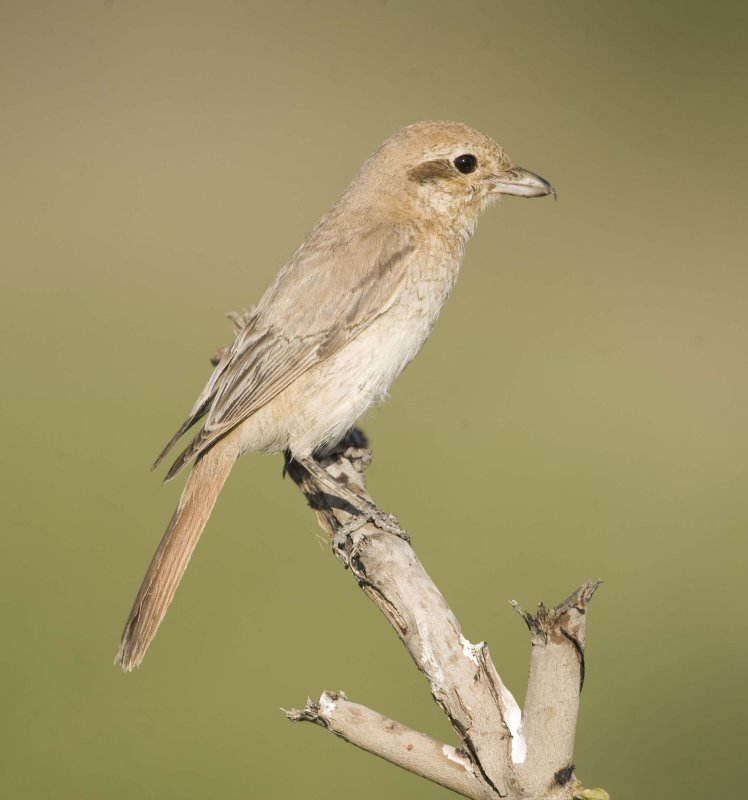 3. Daurian Shrike - Lanius isabellinus