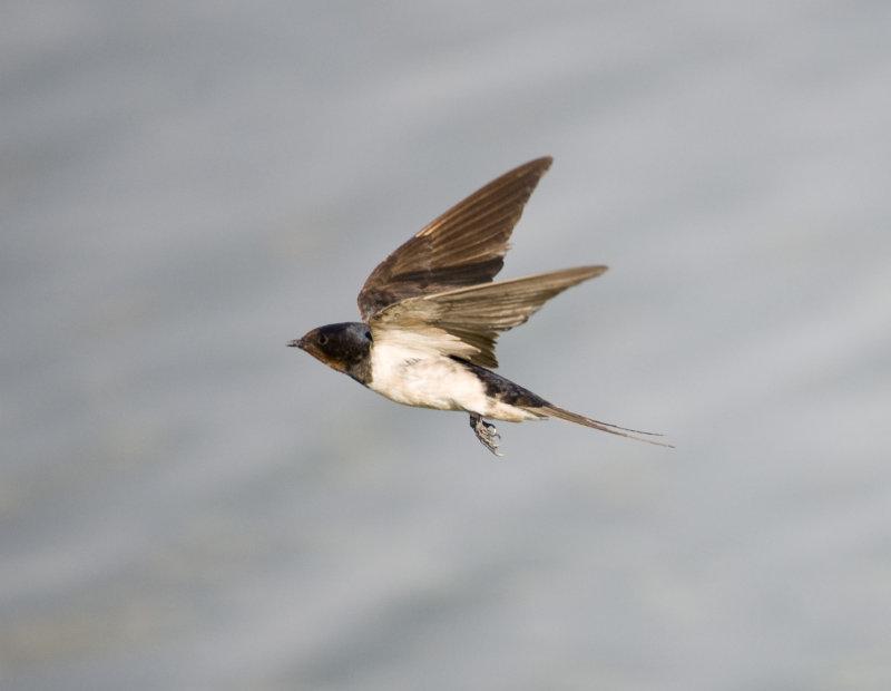 5. Barn Swallow - Hirundo rustica (Linnaeus, 1758)