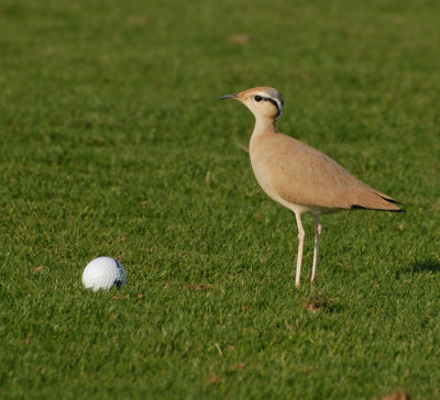 1. Cream-coloured Courser Cursorius cursor