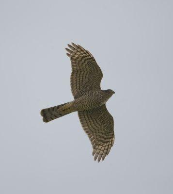 11. Eurasian Sparrowhawk - Accipiter nisus