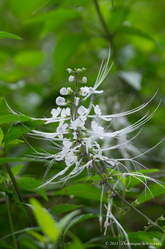 Clerodendranthus spicatus