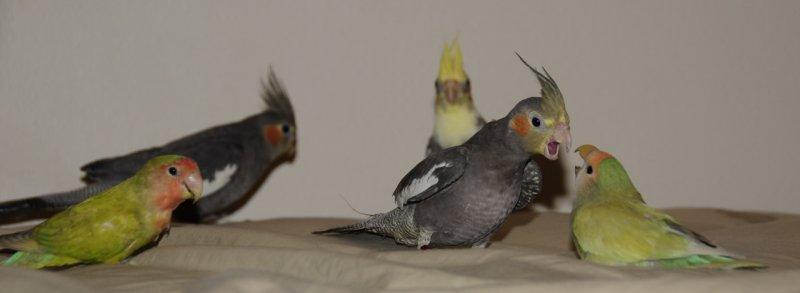 cockatiels and lovebirds _DSC4763.jpg