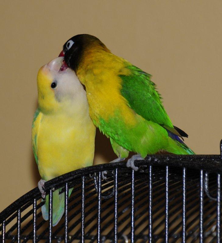 Nanda and Mosa the Lovebirds _DSC4783.jpg