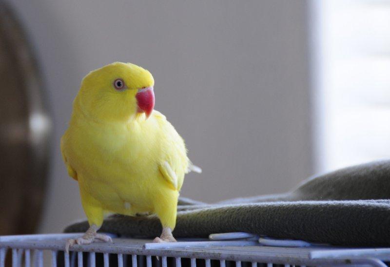 Sadie the Indian Ringneck Parakeet _SC4600.jpg