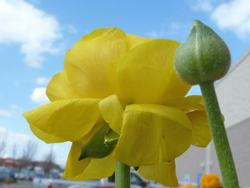 Flower for sale at Fred Meyer Spring 2011 P1050312.jpg