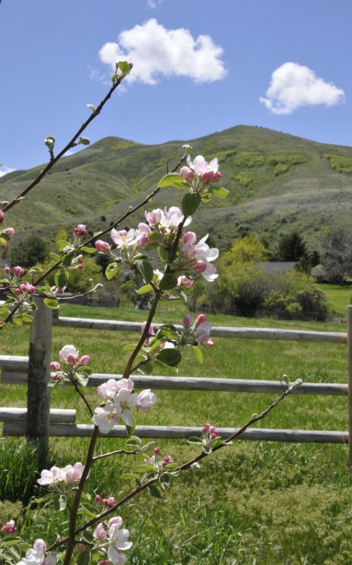 apple blossoms and chinese peak _DSC7544.jpg