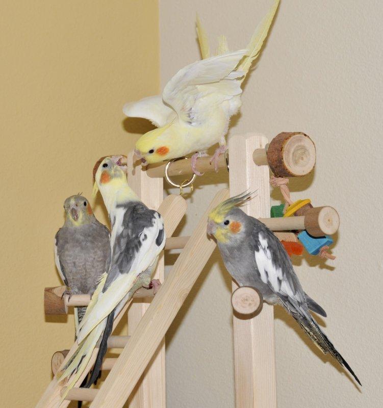 baby cockatiels at play _DSC6846.jpg