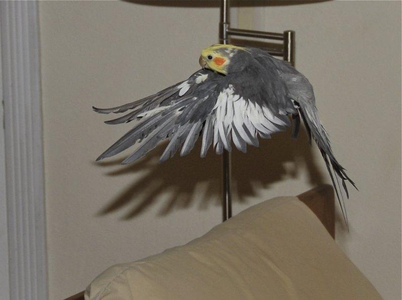 Mozart the Cockatiel in Flight _DSC6958.jpg