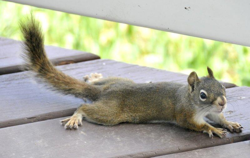 red squirrel _DSC8277.jpg