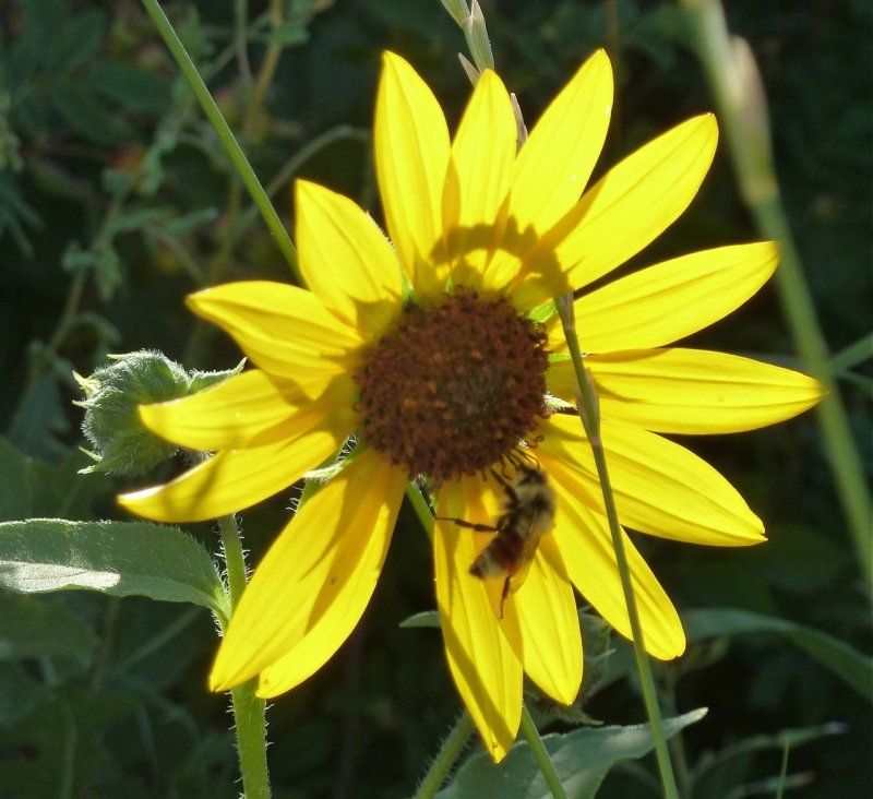 sunflower and insect P1060216.jpg