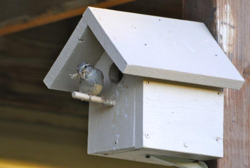 bird with prey to feed babies at birdhouse _DSC0430.jpg