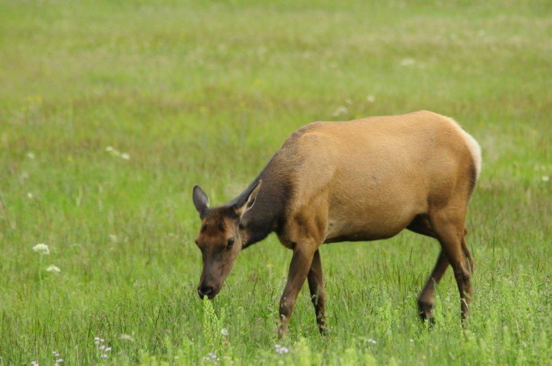 Yellowstone Baby Elk _DSC0101.jpg