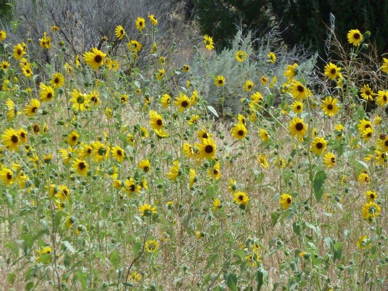 sunflowers P1060311.jpg