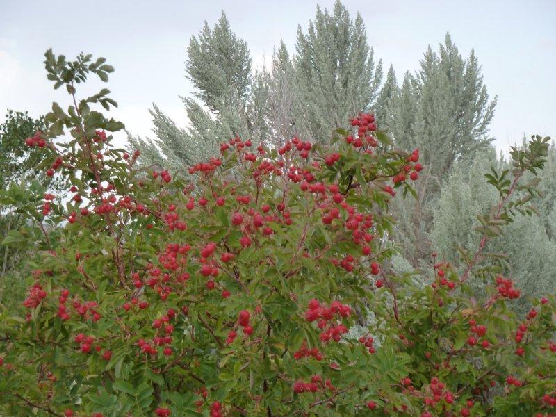 wild rose with rose hips and sage brush P1060336.jpg