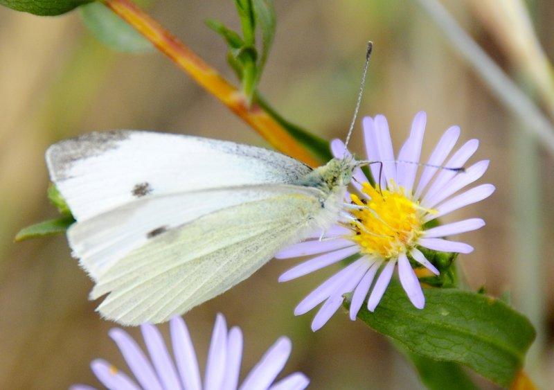 butterfly on fleabane _DSC1054.jpg
