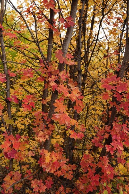 Fall Foliage Autumn 2011 City Creek Pocatello Idaho _DSC1827.jpg