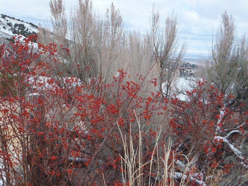 dry grass rosehips and sagebrush DSCF5229.jpg