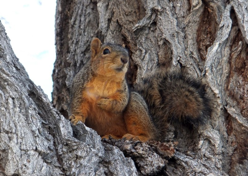 ISU fox squirrel DSCF5237.jpg