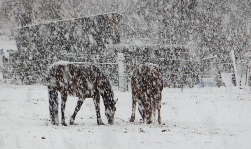 neighbors horses grazing in snow DSCF5208.jpg