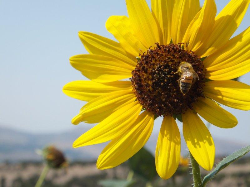 Pocatello Sunflower Sep 7 2012 1500 wide DSCF5852.JPG