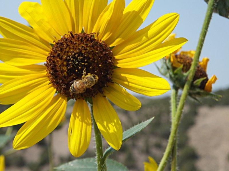 Pocatello sunflower DSCF5850.JPG