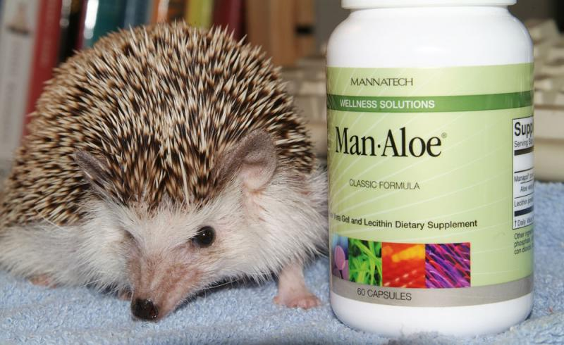 Desmond Hoohoo the Pygmy African Hedgehog and his Anti-Cancer Aloe DSCF0042.jpg