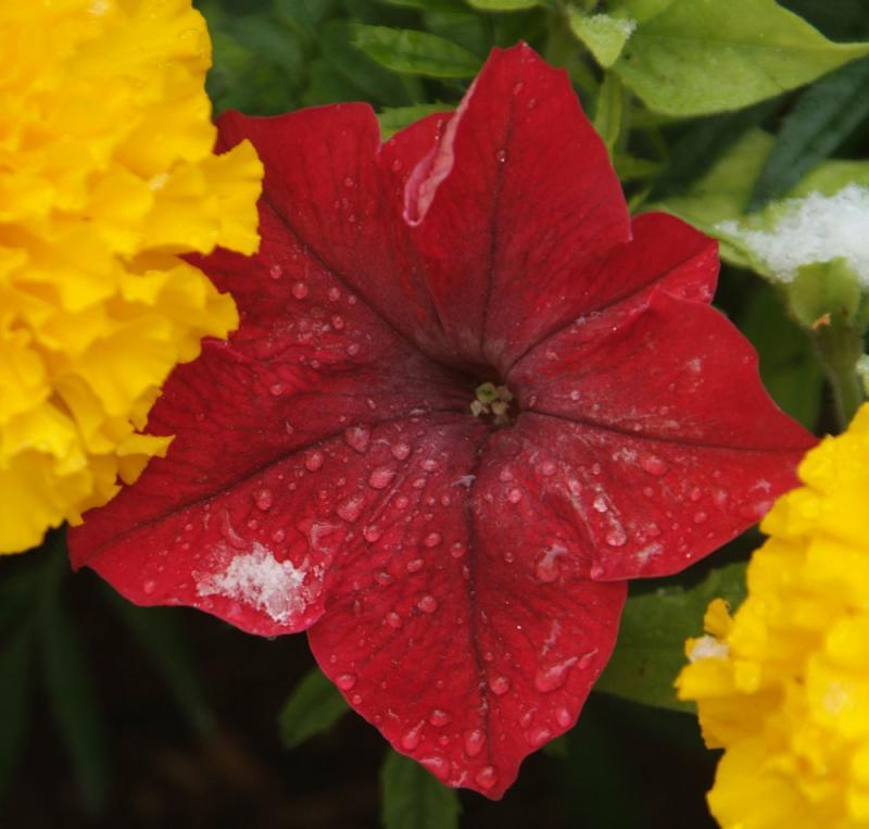 ISU Flower with Snow DSCF0188.jpg