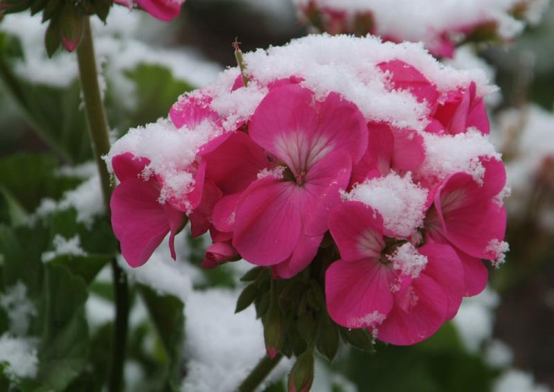 ISU Flowers with Snow DSCF0190.jpg