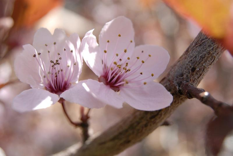 Thundercloud Plum Flowers at ISU Administration Building _DSC0334.JPG