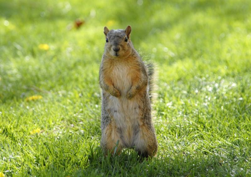 College of Engineering Squirrel ISU _DSC0083.JPG