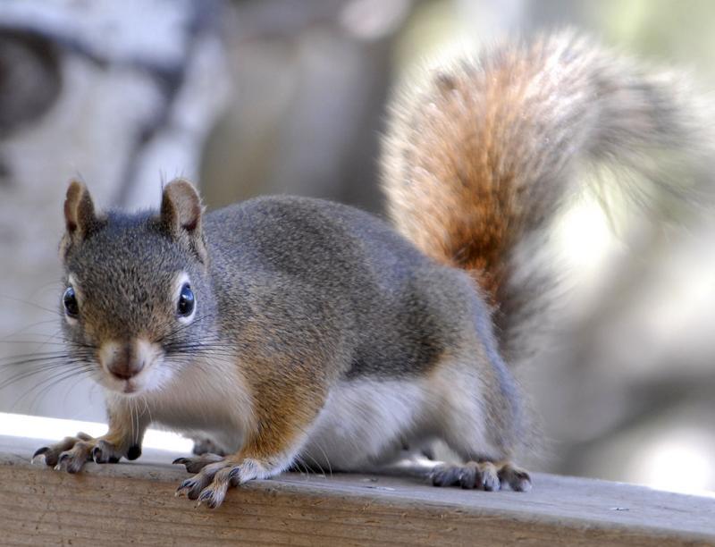 pregnant red squirrel girl _DSC0056.jpg