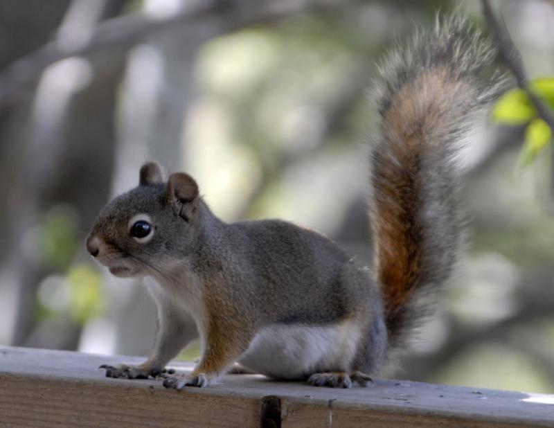 pregnant red squirrel girl _DSC0018.jpg