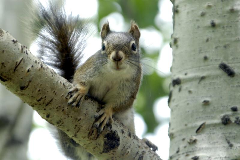 red squirrel on an aspen _DSC0396.JPG