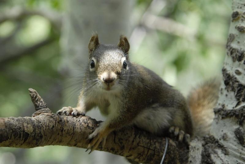 red squirrel on an aspen _DSC0415.JPG