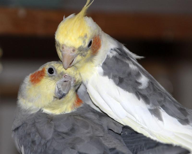 Cockatiel Brothers Treasure and Magic, sons of Ama Mama and Jake Daddy _DSC0191.jpg