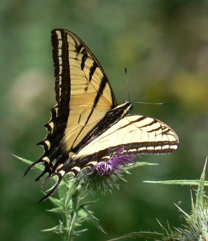 Tiger Swallowtail taken with Panasonic Camera P1000036.jpg