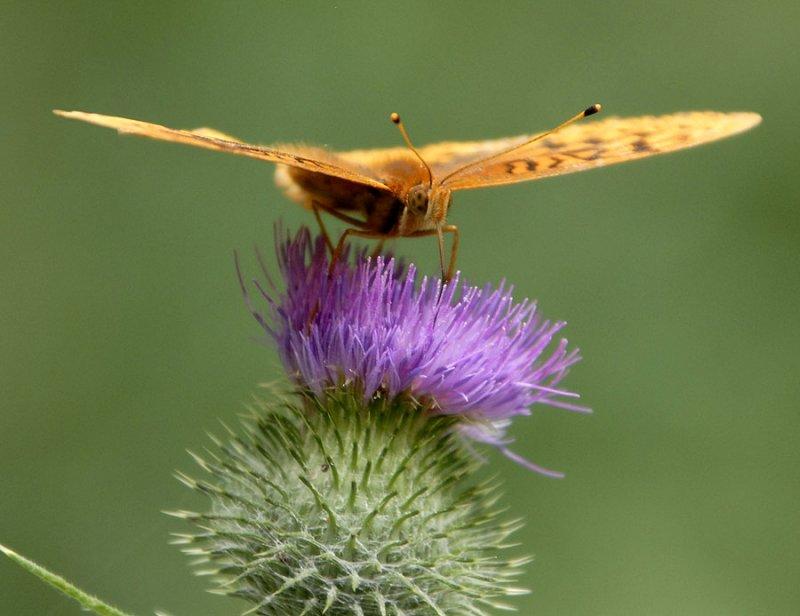 orange butterfly _DSC0111.jpg