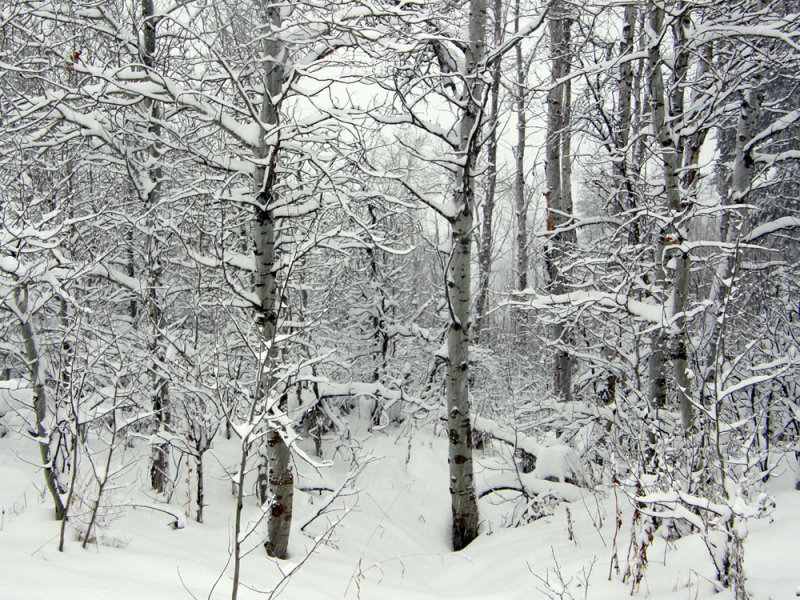 Mountain Winter Scene with Aspen from Our Driveway smallfile PC200027.jpg