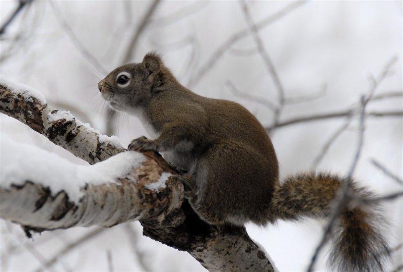 Red Squirrel on an Aspen in Winter _DSC0558.jpg