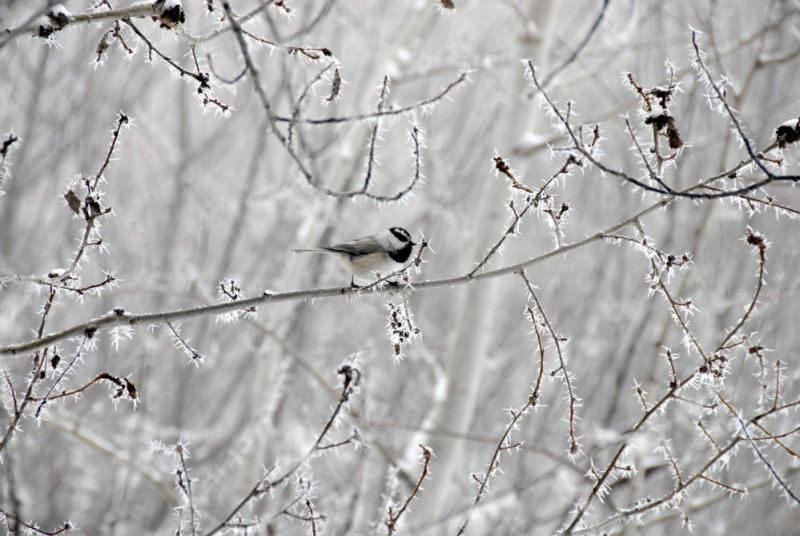Winter Scene with Ice Spikes and Chickadee _DSC0537.jpg